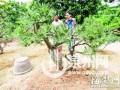 盆景园被偷走7棵黑松 小偷不识货留下最贵的1棵