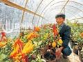 福建:泉州农户大胆创新种植新型盆景 佛手果与柠檬嫁接