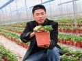 福建大田家庭农场推出草莓盆景