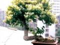 山东蓬莱黄金周举办古树盆景展