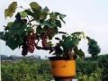 山东平度:盆景葡萄吃完可以旧换新