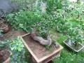 枣庄俩贼摸黑挖走绿化带八棵石榴树 欲偷回做盆景
