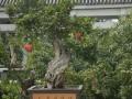 枣庄石榴盆景