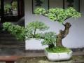 江西盆景艺术家研讨中国盆景文化