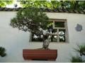 临沂市科技局现已培育示范良种盆景果树5万盆