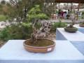 郑州:中州盆景园昨日正式开园 市民可免费游玩