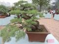 掌上金秋请你欣赏 郑州市人民公园秋季盆景展开园