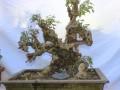 河南:洛阳第二届盆景艺术展十一开展