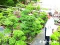打造空中园林30年 十堰6旬老人玩盆景玩上了瘾