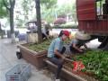 湖南:辰溪县1万余株绿化盆景植物扮靓城市道路