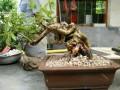湖南湘潭:盆景玩家玩出了名堂把盆景做出湘潭特色
