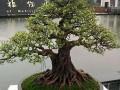 当代广西盆景