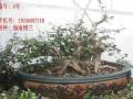 海南省第一届盆景评比展览在海口市会展中心隆重举行