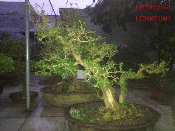 博兰是海南目前最为走红的盆景树之一
