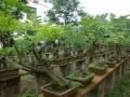 海南将大力培育盆景花卉 建11个花卉生产基地