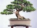 四川:江油市园林盆景艺术协会成立