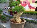 清镇市将举办贵州省盆景奇石艺术展