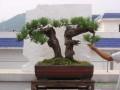 首届贵州中小型盆景展 盆景大师邀你来玩
