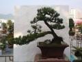 贵州遵义举行盆景花卉展