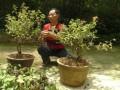 贵阳园林绿化科研院栽种木本金银花盆景成功