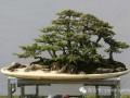 云南:宣威将举办首届盆景展览会