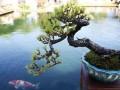 昆明盆景展精品树桩盆景亮相