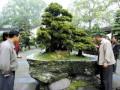 国家级盆景王亮相南山植物园 价值百万元(图)
