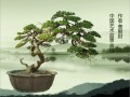 台湾科博馆盆景特展 200年榉树现身