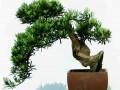 2017年罗汉松盆景价格多少?