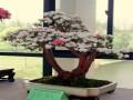 北京:景山公园第十届牡丹花卉暨盆景艺术展开展