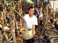 图文:农民在花卉盆景基地管理竹柏树桩盆景