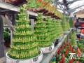 """春节将至 乌鲁木齐""""喜庆""""盆景花卉销售走俏"""