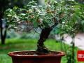 枸杞老桩盆景悬根发芽的方法 图片