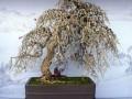 郑州举办中州垂柳型柽柳盆景研讨会