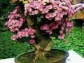 市民在玄武湖盆景园内赏菊花精品