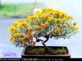 菊花品种展览会盆景菊种植进展顺利