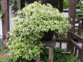 上海植物园络石盆景夏花芬芳