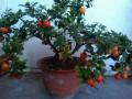 将枣树矮化栽培与盆景造型技术结合方法