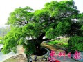 359岁老榕树如巨型盆景