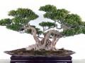 中国榕树盆景之乡——福建 漳浦