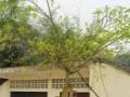 宜宾一榕树枯木逢春 成天然盆景