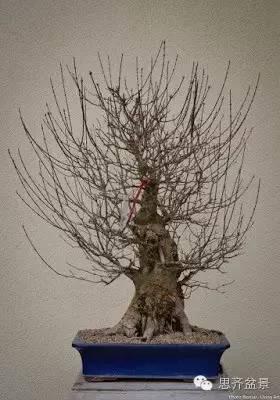 图解三角枫盆景的制作