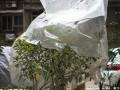 养花达人支招:一个塑料袋让多肉盆景植物好过冬
