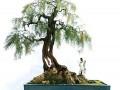 柽柳树干附石盆景怎么收藏制作的方法