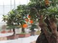 江苏如皋市人大代表关心如皋花木盆景产业发展