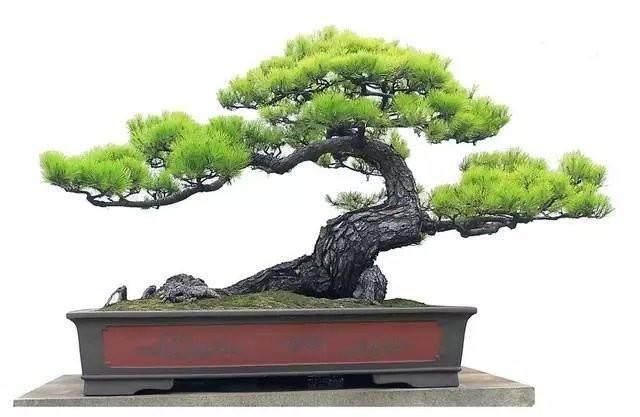 松树盆景的芽处理