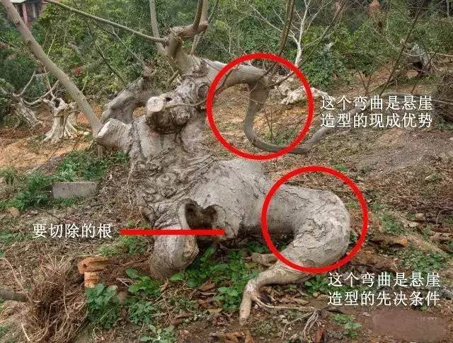 实战 | 树桩盆景造型实战案例