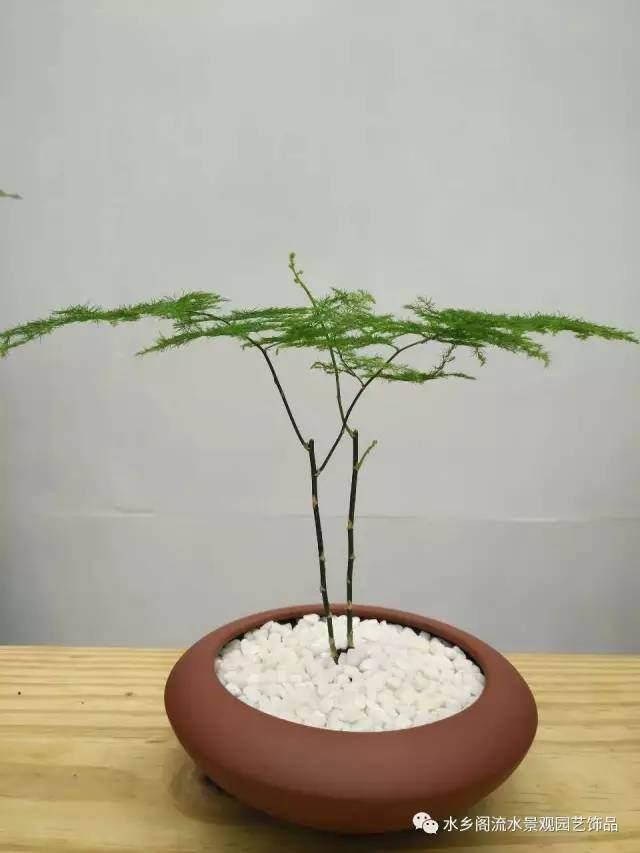 盆景~~文竹盆景,你也可以轻松做到的!