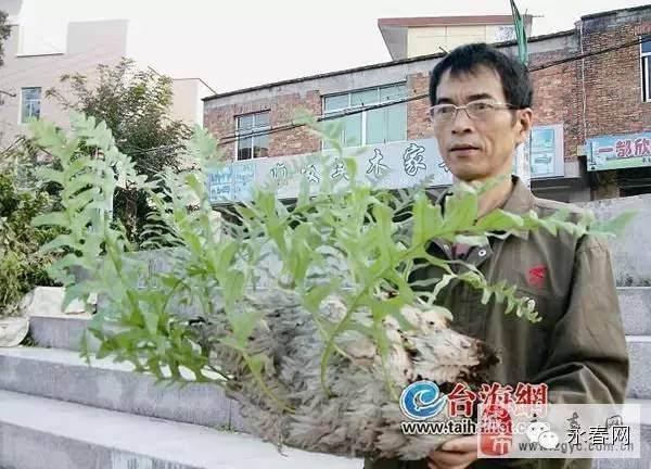"""永春一村民捡到奇特蕨类""""盆景"""" 形状像一只大白鸭"""
