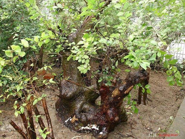 原本健壮的榆树盆景,这是为什么?谁能告诉我?【图】